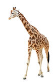 Walking giraffe isolated on white background stock images