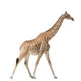 Walking Giraffe isolated on white Royalty Free Stock Image