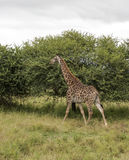 Walking giraffe in south africa Stock Photography