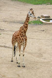 Walking giraffe in a Zoo Stock Photos