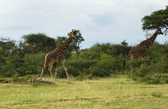 Walking Giraffes in Africa. Some Rothschild Giraffes in Uganda (Africa stock image