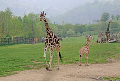 Walking giraffes in a Zoo. Walking adult and young giraffes in a Zoo Royalty Free Stock Photography