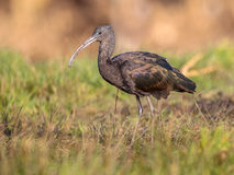 Walking Glossy ibis (Plegadis falcinellus) Royalty Free Stock Image