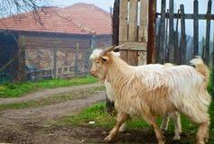 Walking Goat Royalty Free Stock Photo