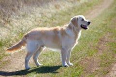 Walking Golden Retriever Dog Stock Photo