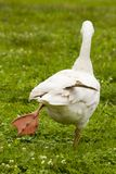 Walking goose Stock Photos