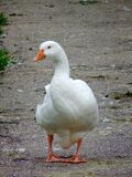 Walking goose Stock Image