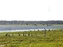 Walking goose and flood field, Lithuania Stock Photography