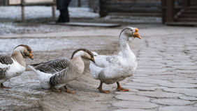 Walking Gooses Stock Image