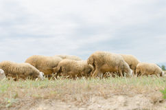 Walking and grazing sheep Stock Images