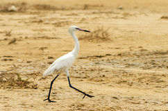 Walking Great Egret Stock Photos