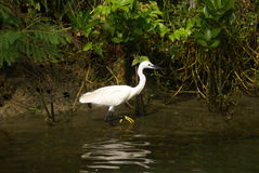 Walking. Great Egret is walking in the river of Taijiang National Park Stock Photos