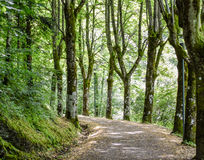 Walking through the green. If you dream of being in the forest, it means that you are lost, puzzled, feel insecure and you are looking for certainty or something Royalty Free Stock Image