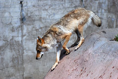 A walking grey wolf profile portrait. Grey wall blurred background Stock Photos