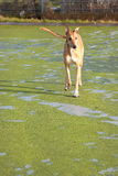 Walking Greyhound. A tan greyhound walking towards the camera stock photo