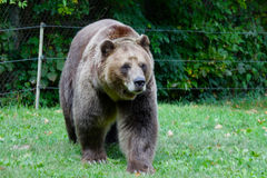 Walking Grizzly Royalty Free Stock Photos
