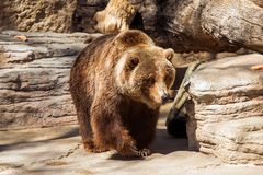 Walking Grizzly Bear Royalty Free Stock Photos