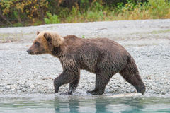 Walking grizzly Stock Photo