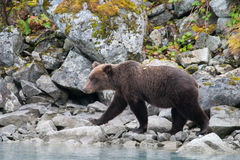 Walking grizzly Stock Images