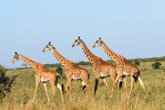 Walking group of giraffes. Group of giraffes in  the Masai Mara Reserve (Kenya Stock Image