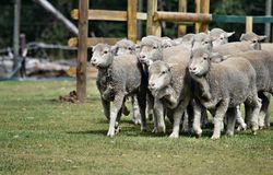 Walking group of sheeps. In a farm in Sunshine Coast, Queensland, Australia Royalty Free Stock Image