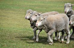 Walking group of sheeps. In a farm in Sunshine Coast, Queensland, Australia Royalty Free Stock Photography