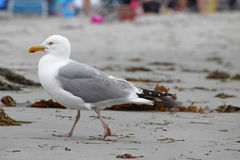 Walking Gull Stock Photography