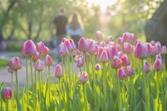 Walking happy young couple in park with blooming pink tulips on foreground. Blurred abstract image for spring, summer Royalty Free Stock Photos