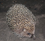 Walking hedgehog Royalty Free Stock Images
