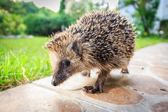 Walking hedgehog. Close up photography with wide angle lens Royalty Free Stock Photography