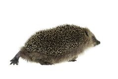 Walking hedgehog in white back Royalty Free Stock Photo