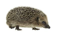 Walking hedgehog in white back Royalty Free Stock Image
