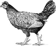 Walking hen Royalty Free Stock Image