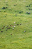 Walking Herd of Cattle Royalty Free Stock Photos