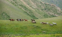 Walking herd of horses Royalty Free Stock Image