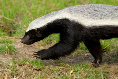 A walking Honey Badger Stock Images
