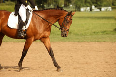 Walking horse. A picture of an equestrian on a sorrel horse in motion over natural background stock images