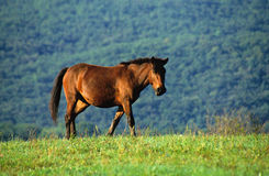 Walking horse. On the pasture Stock Image