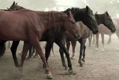 Walking Horse Herd Royalty Free Stock Image