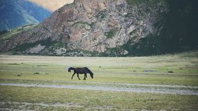 Walking Horse. The horse moves slowly against the background in Altay mountains. Walking Horse. The horse moves slowly against the background in mountains stock video