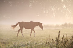 Walking horse in misty sunbeams Royalty Free Stock Photography
