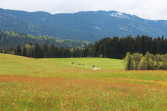 Walking. Horse ride close to the Alps in a German village Royalty Free Stock Photo