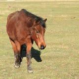 Walking horse Stock Photography