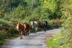 Walking Horses. Horses walking on contry road royalty free stock photography