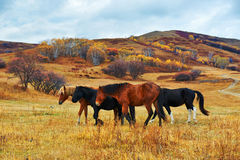 The walking horses on the grassland Royalty Free Stock Images