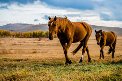 Walking Horses. Walking in the grasslands horse Stock Image