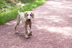 Walking hound Stock Photography