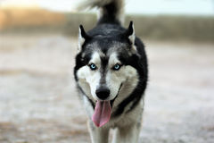Walking husky dog with tongue out. Close up of a walking husky dog with tongue out Royalty Free Stock Photography