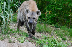 Walking hyena 2 Stock Photos