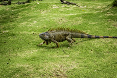 Walking Iguana Royalty Free Stock Images